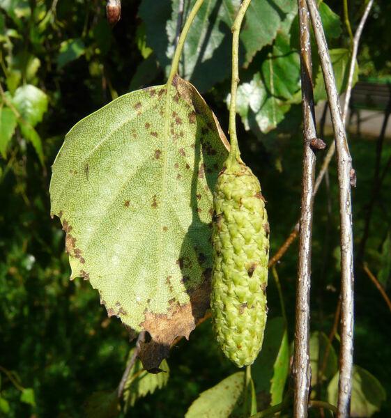 Betula verrucosa Ehrh. 'Youngii'