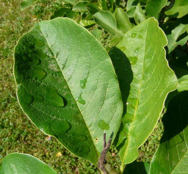 Magnolia kobus DC.