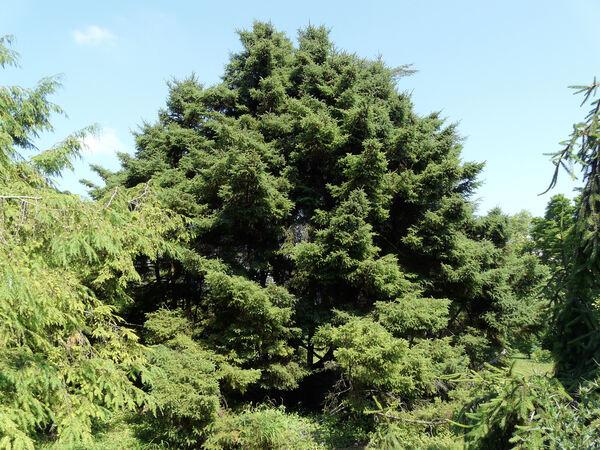 Picea mariana (Mill.) Britton, E.E. Sterns & Poggenb. 'Doumetii'