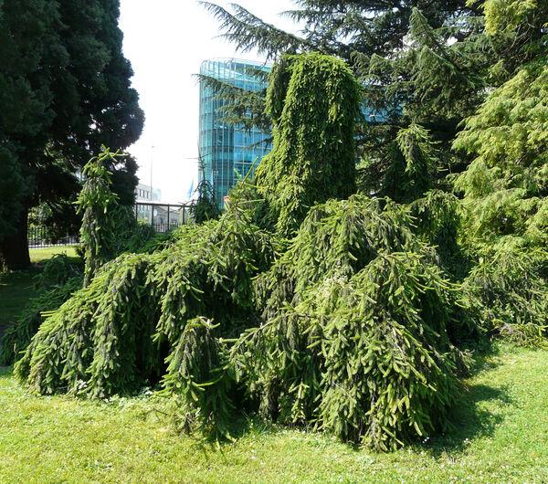 Picea abies (L.) H.Karst. 'Inversa Pendula'