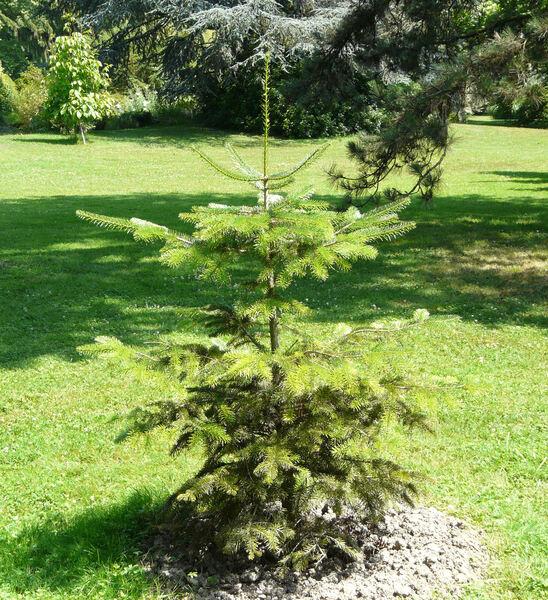 Abies nordmanniana (Steven) Spach subsp. equi-trojani (Asch. & Sint. ex Boiss.) Coode & Cullen