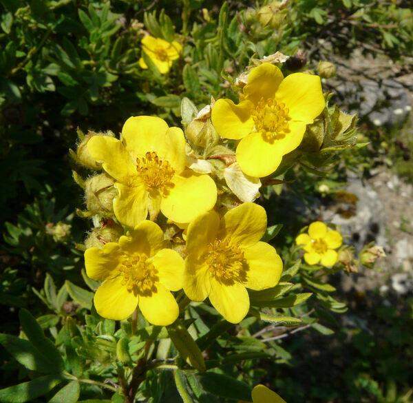 Dasiphora fruticosa (L.) Rydb.