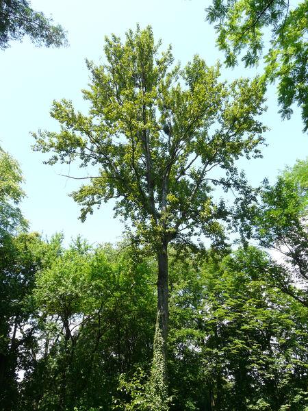 Populus balsamifera L. subsp. trichocarpa (Torr. & A. Gray) Brayshaw