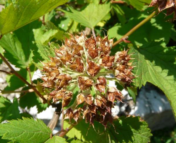 Physocarpus capitatus (Pursh) Kuntze