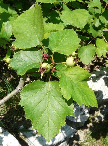 Crataegus viridis L.