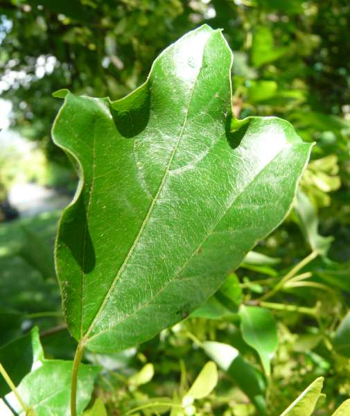 Acer buergerianum Miq. subsp. formosanum (Hayata ex Koidz.) A. E. Murray & Lauener