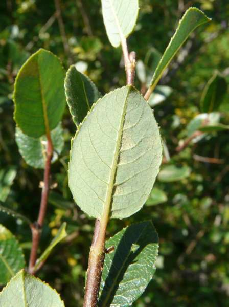 Salix foetida Schleich. ex DC.