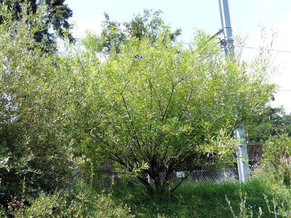 Salix irrorata Anderss.