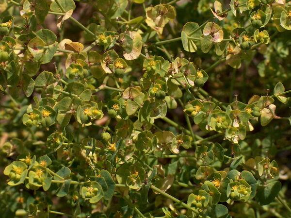 Euphorbia segetalis L.