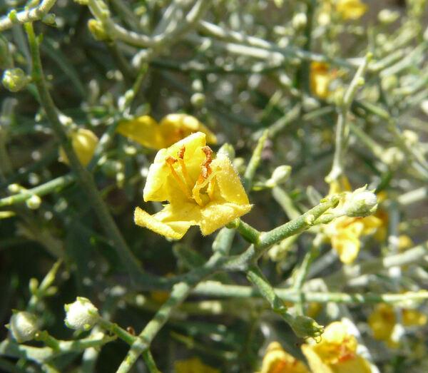 Verbascum spinosum L.