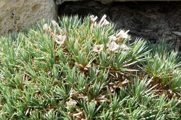 Acantholimon androsaceum (Jaub. & Spach) Boiss.