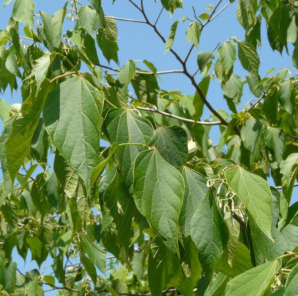 Alangium premnifolium Ohwi