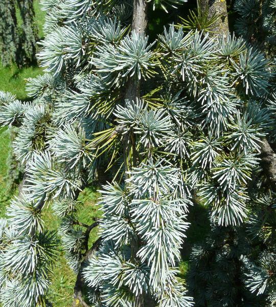 Cedrus atlantica (Endl.) Carrière 'Glauca'
