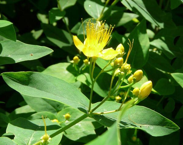 Hypericum canariense L. var. floribundum (Aiton) Bornm.