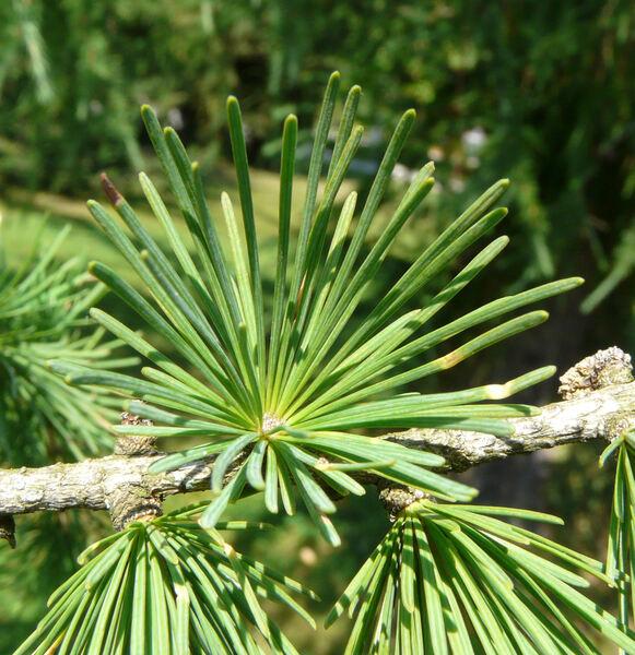 Larix x eurolepis A. Henry