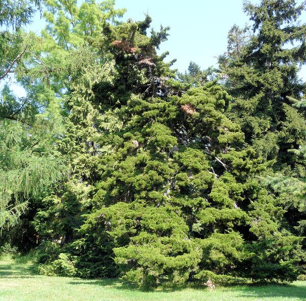 Juniperus virginiana L. 'Canaertii'