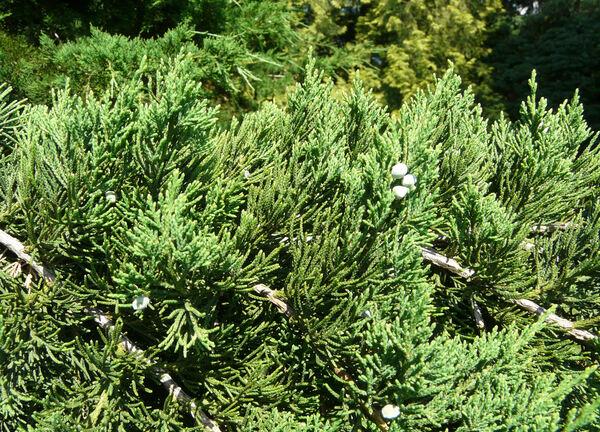 Juniperus bermudiana L.