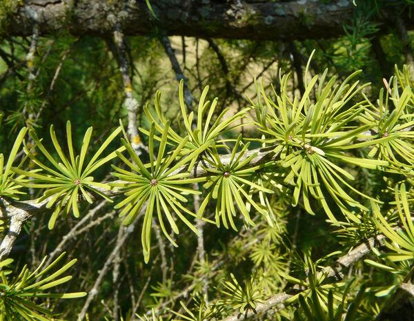 Larix gmelinii (Rupr.) Rupr. var. olgensis (A. Henry) Ostenf. & Syrach