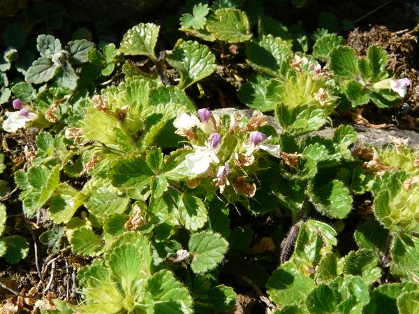 Teucrium pyrenaicum L.