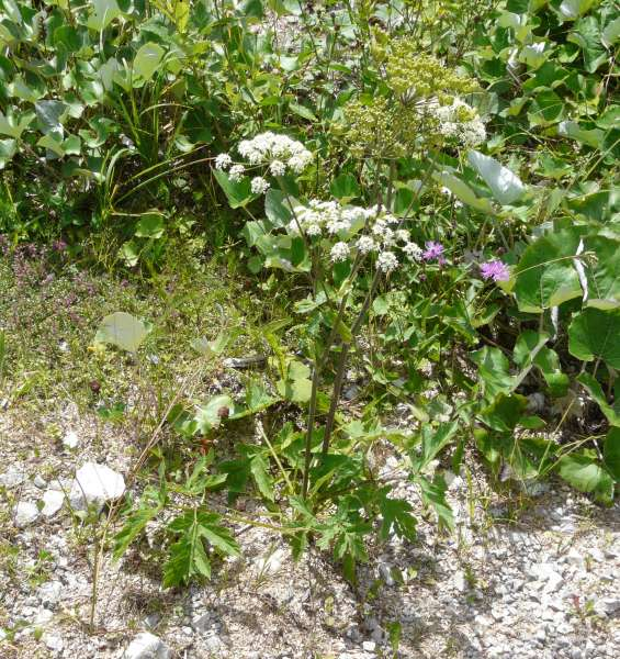 Heracleum sphondylium L. subsp. sphondylium