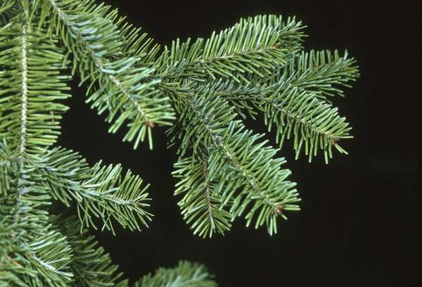 Abies balsamea (L.) Mill.