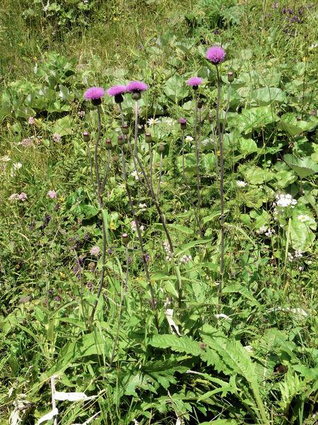Cirsium heterophyllum (L.) Hill