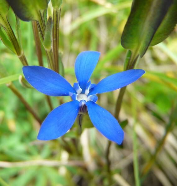 Gentiana utriculosa L.