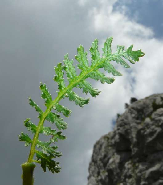 Pedicularis elongata A.Kern. subsp. elongata