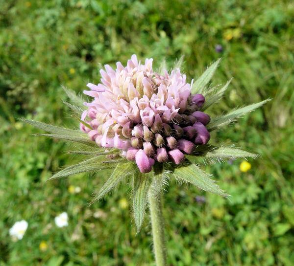 Knautia longifolia (Waldst. & Kit.) W.D.J.Koch