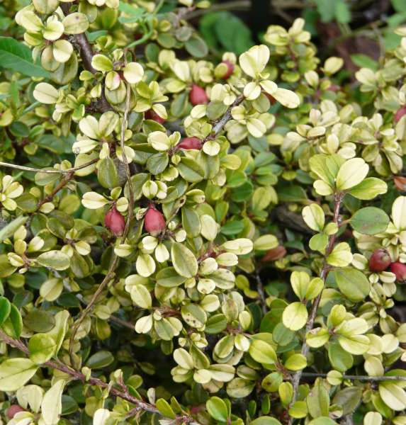 Cotoneaster microphyllus Wall. ex Lindl. f. melanotrichus (Franch.) Hand.-Mazz.