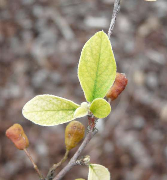 Cotoneaster genitianus Hurus.