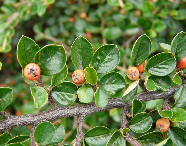 Cotoneaster apiculatus Rehder & E.H.Wilson