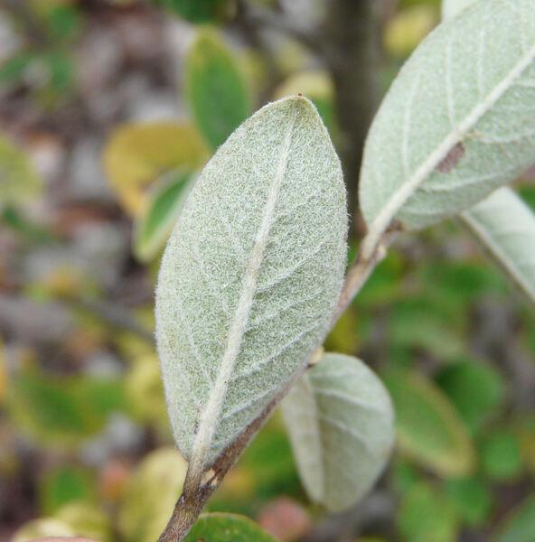 Cotoneaster gracilis Rehder & E. H. Wilson
