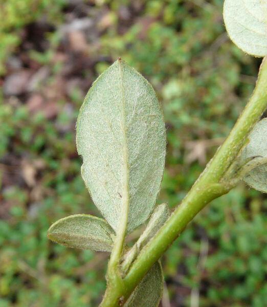 Cotoneaster kweitschoviensis G. Klotz