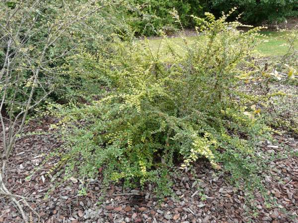 Cotoneaster divaricatus Rehder & E.H.Wilson