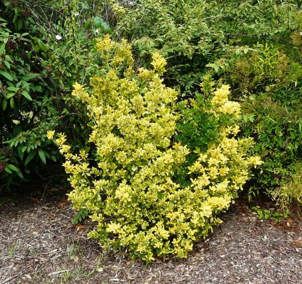Euonymus japonicus Thunb.