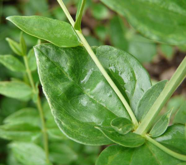 Coriaria japonica A. Gray