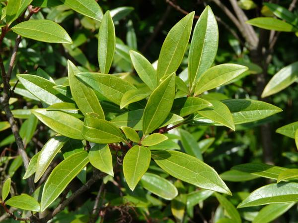 Viburnum propinquum Hemsl.