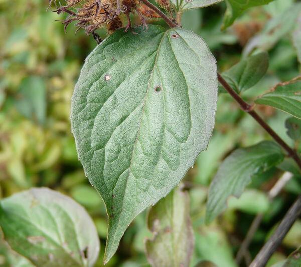 Kolkwitzia amabilis Graebn.