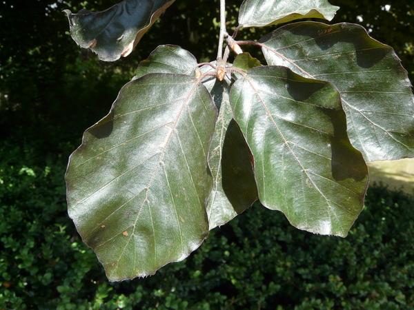 Fagus sylvatica L. f. purpurea (Aiton) C. Schneider