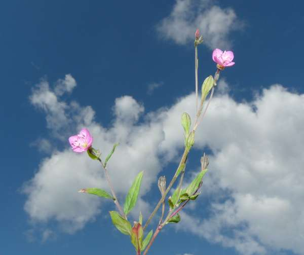 Oenothera rosea L'Hér. ex Aiton