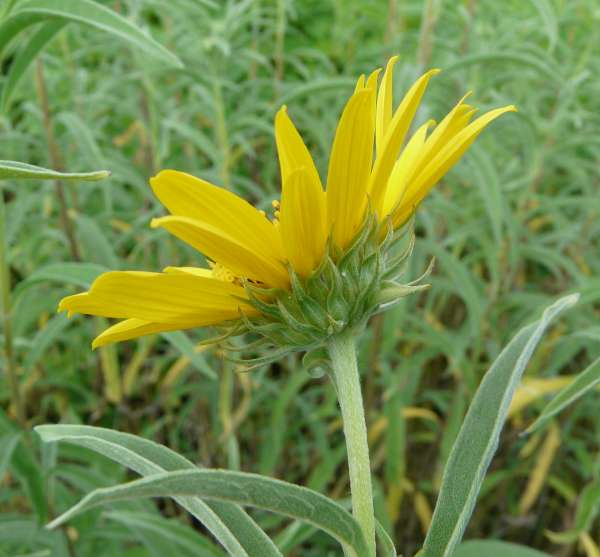 Helianthus maximiliani Schrad.