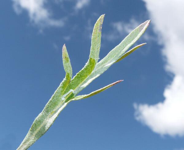 Artemisia dracunculus L.