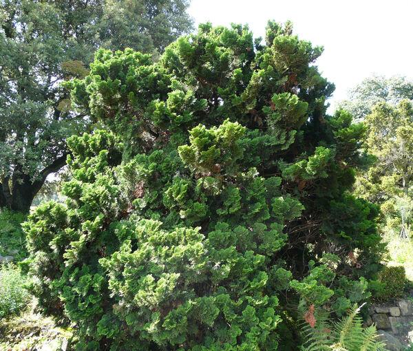 Chamaecyparis obtusa (Siebold & Zucc.) Endl. 'Nana'