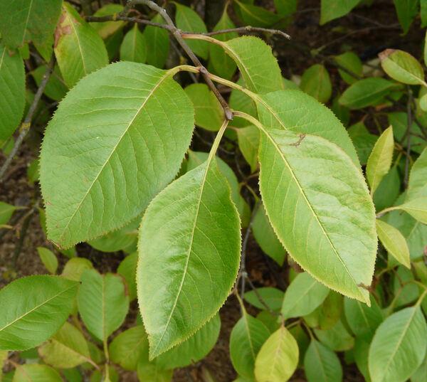 Viburnum lentago L.