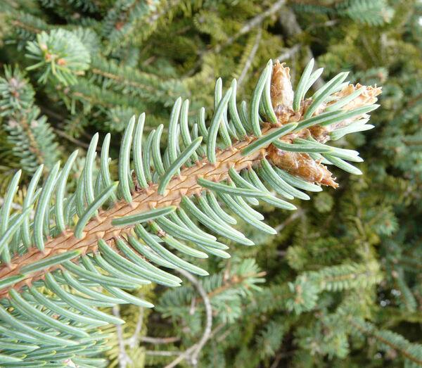 Picea asperata Masters