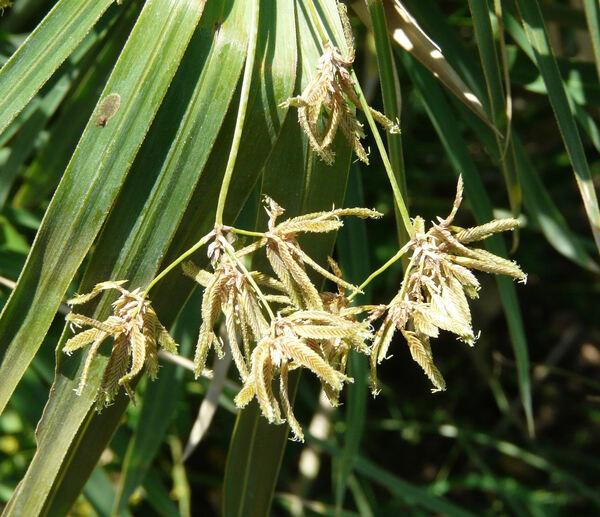 Cyperus alternifolius L. subsp. flabelliformis Kük.