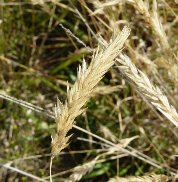Anthoxanthum aristatum Boiss.