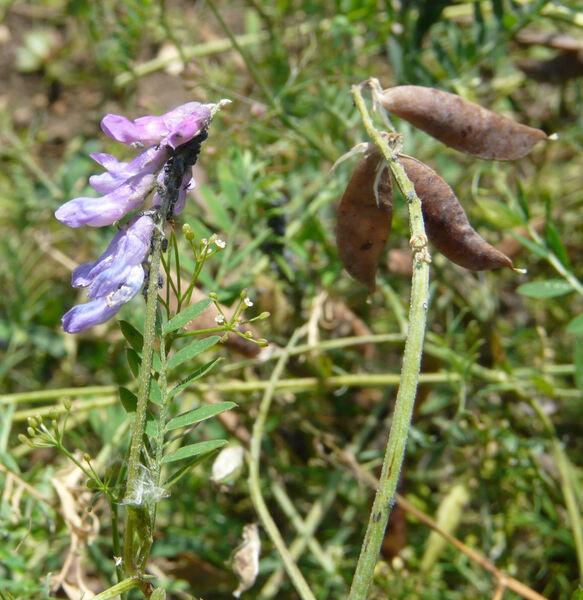 Vicia tenuifolia Roth subsp. tenuifolia