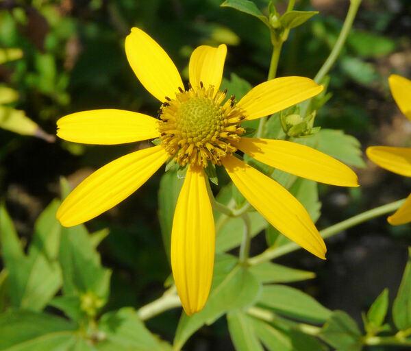 Rudbeckia laciniata L.